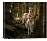 2 fallow deer in the woodland morning light, Canvas Print