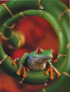 Frog hanging out by Iona Heck Beautiful Creatures, Animals Beautiful, Cute Animals, Wild Animals, Baby Animals, Funny Frogs, Cute Frogs, Sapo Meme, Amazing Frog
