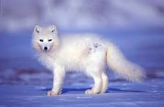Image result for arctic animals