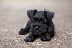 Josie Belle by Cheree Federico Photography #Miniature #Schnauzer