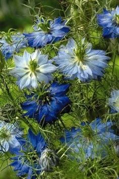 Nigella (love in the mist)