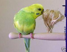 Parakeet/Budgie, Finch, Canary, Parrotlet Size Therapeutic Preening Perch - http://pets.goshoppins.com/bird-supplies/parakeetbudgie-finch-canary-parrotlet-size-therapeutic-preening-perch/