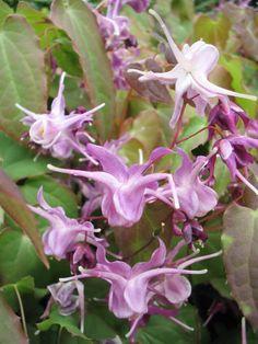 Elfenbloem (Epimedium grandiflorum 'Lilafee')