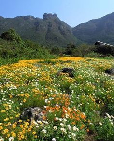 The Kirstenbosch National Botanical Gardens form part of the Cape Floristic Region Protected Area ,South Africa, that was proclaimed a UNESCO World Heritage Site in Beautiful Landscapes, Beautiful Gardens, National Botanical Gardens, South Afrika, Parque Natural, Meadow Garden, Cape Town South Africa, Garden Types, Most Beautiful Cities