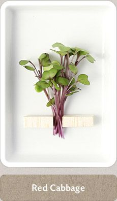 Herbs Micro Herbs, Spices And Herbs, Fresh Herbs, Homemade Seasonings, Red Cabbage, Farm Gardens, Medicinal Plants, Herbal Medicine, Home Brewing