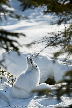 Snowshoe hare in winter white pelage, snow covered tundra, Brooks Range, Arctic, Alaska. Horses In Snow, Horses And Dogs, Wildlife Photography, Animal Photography, Hare Images, Snowshoe Hare, Cute Wild Animals, Biomes, Nature Animals