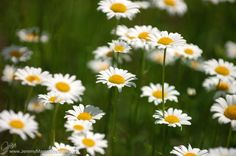 I love daisies. They' re so friendly. Don't you think daisies are the friendliest flower?
