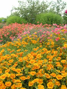 Sun Rose  Conservation Garden Park: Weekly Plant Spotlight