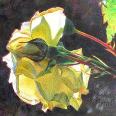 Rose blanche à contrejour (Dessin),  14x13x0,1 cm par Fabienne Monestier Une rose de mon jardin traitée de façon réaliste aux crayons de couleur. J'ai utilisé des Polychromos de Faber Castell sur un papier lisse. Une vingtaine d'heures de travail ont été nécessaires à la réalisation de ce dessin.  FRAIS DE PORT GRATUITS POUR LA FRANCE.