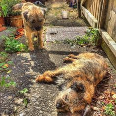 'C'mon Pickle, get up! We've got Rabbits to Chase!' -  Alf the Border Terrier