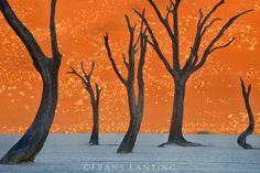 Dead camelthorn trees, Acacia erioloba, Dead Vlei, Sossusvlei, Namib-Naukluft National Park, Namibia. Image by Frans Lanting.