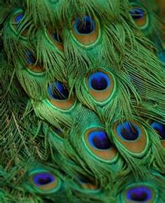 loving peacock feathers