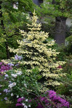 Picea Pungens dwarf spruce