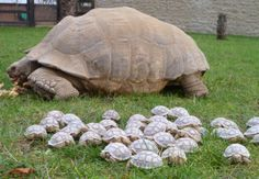 """""""A giant tortoise at Linton Zoo in Cambridgeshire has given birth to a whopping 45 babies. Thirty-year-old mum, Kali, an African Spurred or Sulcata Giant Tortoise who weighs 9st 6lbs, gave birth in two clutches during March and April of this year."""" (2011)"""