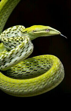 Ahaetulla nasuta - Green Vine Snake