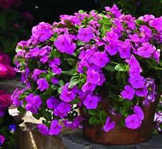 Trailing Vinca - Great for Shepards Hook or in pot.