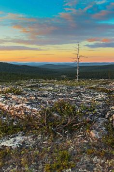 Lonely deadstanding tree in Lapland, Urho Kekkonen National Park