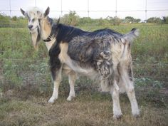 D&M's Royal SS Sir Tapley, Purebred French Alpine buck goat