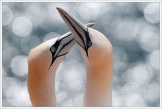 Gannets, Helgoland. Photo by Remy.
