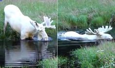 Extremely rare white moose spotted taking a dip in Sweden is part of White moose - An extremely rare white moose was spotted in Värmland, Sweden There are only 100 of the animals in the country and they are hardly ever captured on film Albino Moose, Coyote Hunting, Pheasant Hunting, Archery Hunting, Baby Wolves, Red Wolves, Rare Albino Animals, White Moose, Wild Animals Photography