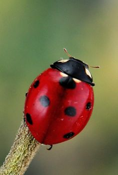 All sizes | Seven-spot ladybird (Coccinella septempunctata) | Flickr - Photo Sharing!
