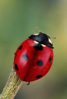 All sizes | Seven-spot ladybird (Coccinella septempunctata) | Flickr - Photo Sharing!