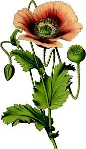 Image result for poppy flower vector art
