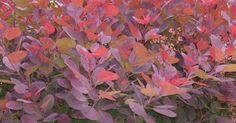 Smoke bush Cotinus 'Grace' - 5 shrubs for Autumn colour | gardens ...