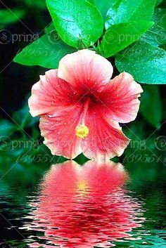 Giant Hibiscus Flower Bonsai Chinese Big Flowers Hibiscus Bonsai Tree For Home Garden Planting sementes` plantas Hawaiian Flowers, Hibiscus Flowers, Exotic Flowers, Tropical Flowers, Amazing Flowers, Pretty Flowers, Flowers In Water, Purple Flowers, Spring Flowers