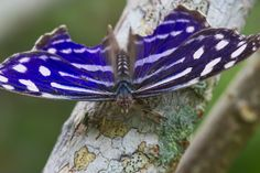 Tropical Blue Wave Butterfly
