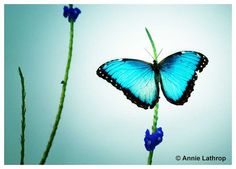 Butterfly Insect Photography Torquoise, Blue Morpho Butterfly Nursery Decor - Floral Photography Print - 5x7 Fine Art Image on Etsy, $5.00