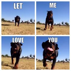 Rottweiler puppy kisses