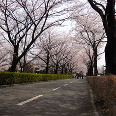 Cicada Road become Cherry Tree Road in spring