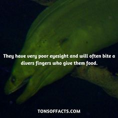 They have very poor eyesight and will often bite a divers fingers who give them food. Dolphin Facts, Whale Facts, Dinosaur Facts, Lion Facts, Tiger Facts, Cat Facts, Fun Facts About Animals, Animal Facts, Elephant Facts
