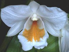 Dendrobium formosanum