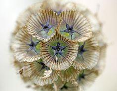 scabiosa seed head