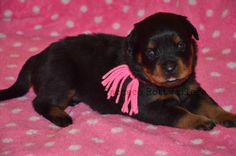 Pink Female She is staying with me! #pachecorottweilers #pink #mygirl #family #baby #princess #rottweiler #puppy #futurestar
