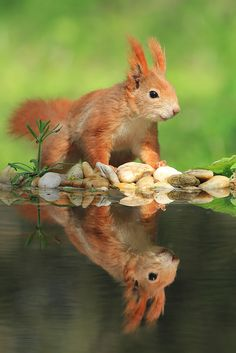 Wunderhübsches süßes Eichhörnchen und ein genauso wunderhübsches Ebenbild im Wasser, sooo ... klar zu sehen, toll.