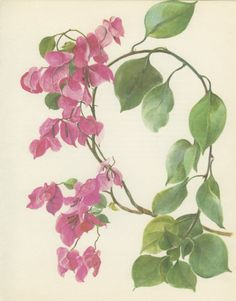 Vintage Botanical Print Bougainvillaea by MarcadeVintagePrints