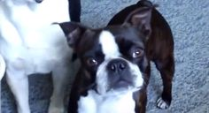 If you were Wondering if Boston Terrier dogs Like to Go for a Walk... Watch this! ► http://www.bterrier.com/?p=28246 - https://www.facebook.com/bterrierdogs