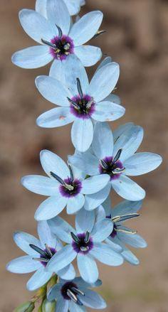 Hermosa la flor de Ixia