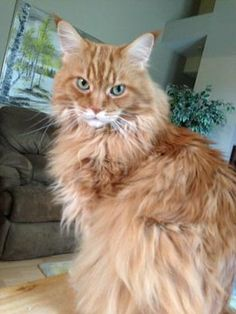 Surfer Dude is a purebred Maine Coon