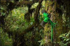 Resplendent Quetzal (Pharomachrus mocinno) feeding chick in nest - Chris Jimenez Photography Photography Gear, Wildlife Photography, Amazing Photography, Little Birds, Wild Birds, Bird Feathers, Nature Photos, Natural, Nest