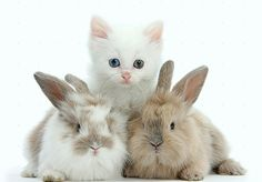 Cute Kitten With Rabbits