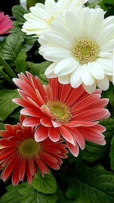 The Gerbera flower comes in at number Sunflowers And Daisies, All Flowers, Flowers Nature, Exotic Flowers, Amazing Flowers, Beautiful Roses, Colorful Flowers, Beautiful Flowers, Paper Flowers