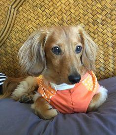 Benny Hopper, my long haired dachshund.