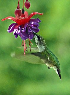 Hummingbird - Drinking from a Fuchsia