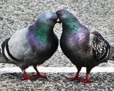 bird print, Pigeons, love birds, doves, Bird Photo, SALE, In Stock - Love on the Line, 8x10. $20.00, via Etsy.