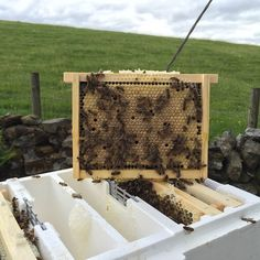 """""""#beekeepers #beekeeping #queenrearing  This is the laying pattern I like to see before I remove a newly mated queen from the mini mating Nucs. Each frame in half a Langstroth medium. I had been proved that queens allowed to lay for 21 days before being removed develop in to great queens"""" Photo taken by @thebeemanuk on Instagram, pinned via the InstaPin iOS App! http://www.instapinapp.com (06/22/2015)"""