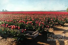 #tulips #flowers #landscape #washington #skagitvalley